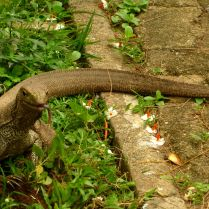 Monitor lizard - perfect pose