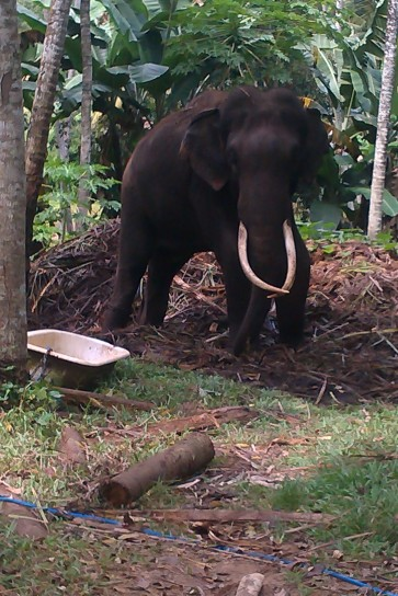 Tuskar elephant in Sri Lanka