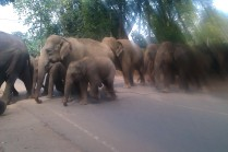 Elephants from orphanage crossing road to take their daily river bath